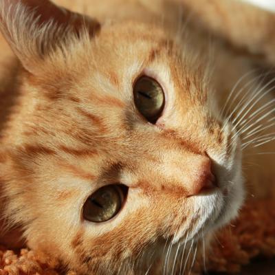 marmalade-cat